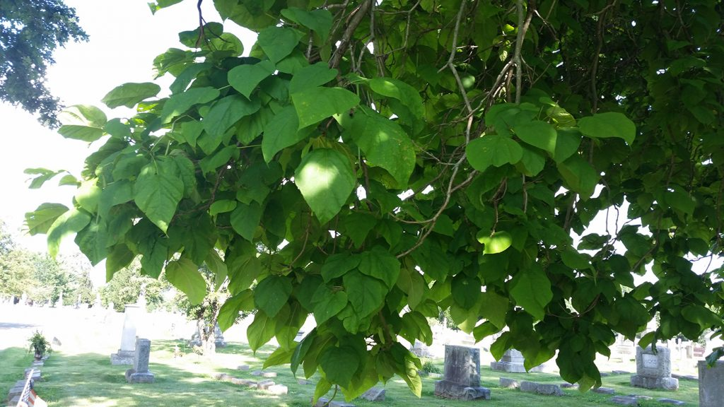 Tough tree decisions night owls garden catalpa leaves with large green leaves and big white flowers mightylinksfo